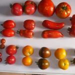 Les tomates du potager